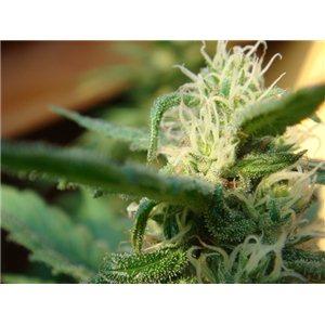 Mr Nice seeds - Angels Breathe 18 ks (Mango Haze x Afghan Haze)
