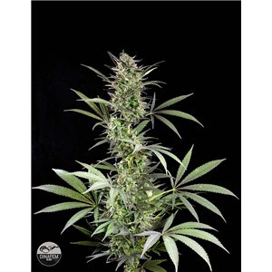 Dinafem Blue Fruit 10 ks