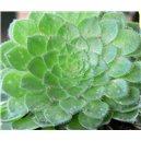 Aeonium tabuliforme (rastlina: Aeonium tabuliforme) 30semen