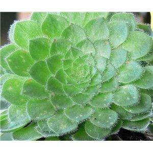 Aeonium tabuliforme (Aeonium tabuliforme) cca 15 semínek rostlinky