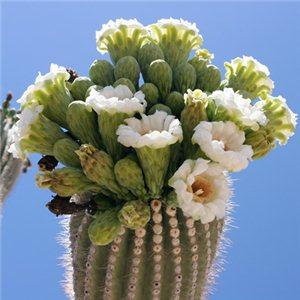 Saguaro (rastlina: Carnegiea gigantea) 5 semien