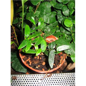 Figovník (rastlina: Ficus punctata) semienka rastliny