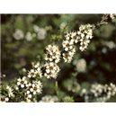 Biely čajovníkový strom (rastlina: Kunzea ericoides) semienka rastliny