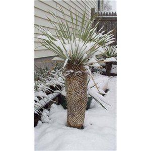Juka Thomsonove (rastlina: Yucca thompsoniana) 10 semien