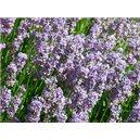Levandule lékařská (Rostlina - Lavandula angustifolia) 20 semen