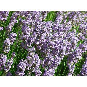 Levanduľa lekárska (Rastlina - Lavandula angustifolia) 20 semien