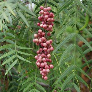 Peruánske (rastlina: Schinus molle) 6 semien
