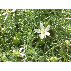 Harmala stepná (rastlina: Peganum harmala) 10 semien