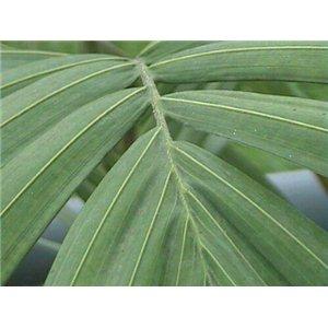 Palma Kráľovská (rastlina: Archontophoenix cunninghamiana) semienka rastliny