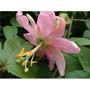 Mučenka babánová (rastlina: Passiflora mollissima) semienka rastliny
