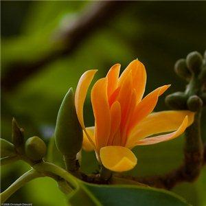 Magnólie champacea (rastlina: Magnolia champaca) semienka rastliny