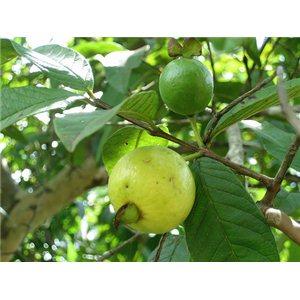 Kvajáva ( rostlina: Psidium guajava) 10 semínek rostliny