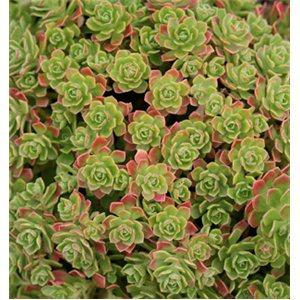 Aeonium spathulatum (rastlina: Aeonium spathulatum) semienka rastliny