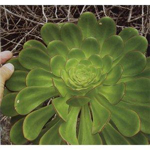 Aeonium ciliatum (rostlina: Aeonium ciliatum) cca 15 semínek rostliny