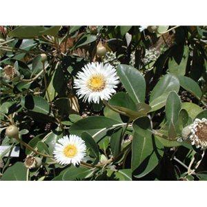 Cheesman (rastlina: Pachystegia insignis) 7 semien