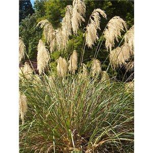 Okrasná tráva (rastlina: Chionochloa conspicua) 10 semien