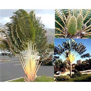 Strelicia madagaskarská (rastlina: Ravenala madagascariensis) 6 semien