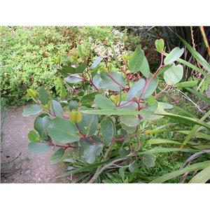 Eukalyptus Aplnina (rastlina: Eucalyptus alpina) 7 semien