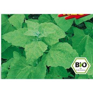 Melde – Lebeda Zahradní (rostlina: Atriplex hortensis) BIO