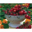 Cherry paradajka Dasher F1