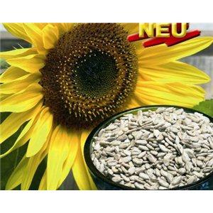 Slunečnice - Helianthus Snack