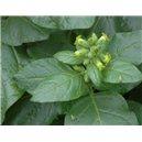 Tabak Selský PRÉMIUM BIO (tabak: Nicotiana rustica) - 25 semien