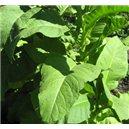 Tabak Brown Leaf (Roštín: Nicotiana tabacum) - 25 semien