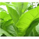 Tabák Kentucky (tabák: nicotiana tabacum) – 25 semen