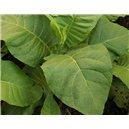 Tabak Little Woods (tabak: Nicotiana tabacum) - 25 semien