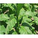 Tabak Orinoco Lizard Tail (rastlina: Nicotiana tabacum) - 25 semien