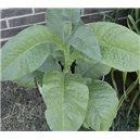 Tabak MADOLA (rastlina: Nicotiana tabacum) - 25 semien