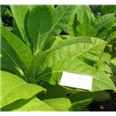 Tabak Kentucky Burley (rastlina: Nicotiana tabacum) - 25 semien