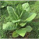 Tabak TN90 (rastlina: Nicotiana tabacum) - 25 semien