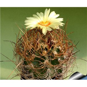Kaktus Capricorne (rostlina: Astrophytum capricorne) – 6 semen kaktusu