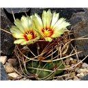 Kaktus šenil (rastlina: Astrophytum šenil) - 6 semien kaktusu