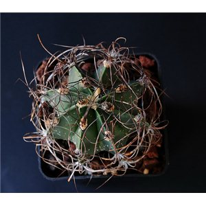 Kaktus šenil v. Qurcum (rastlina: Astrophytum šenil v qurcum) - 6 semien