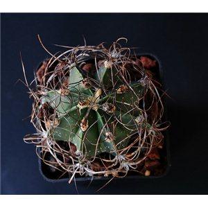 Kaktus Senile v. Qurcum (rostlina: Astrophytum senile v qurcum) – 6 semen