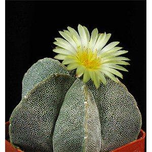Kaktus Mix (kaktusy: Astrophytum) – 6  kaktusových semen
