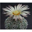 Kaktus Super Kabuto (rostlina: Astrophytum superkabuto) – 3 semínka kaktusu