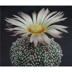 Kaktus Super Kabuto (rastlina: Astrophytum superkabuto) - 3 semienka kaktusu