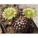 Kaktus viridiflorus (rastlina: Echinocereus viridiflorus) - 3 semienka kaktusu