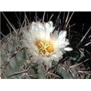 Kaktus hexadrophorus (rastlina: Thelocactus hexadrophorus - 6 semien