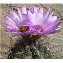 Kaktus Bicolor (rostlina: Thelocactus bicolor) – 6 semen kaktusu