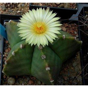 Kaktus Myriostigma (rastlina: Astrophytum myriostigma) - 6 semien kaktusu