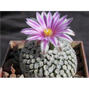 Kaktus valdeziana (rastlina: Pelecyphora valdeziana) - 3 semienka kaktusu