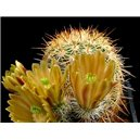 Kaktus cylindricus (Echinocereus chloranthus v cylindricus) - 3 semená