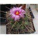 Kaktus Frendenbergi (Thelocactus rinconensis v freudenbergii) - 6 semien