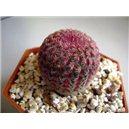 Kaktus Rubrispinus (Echinocercus rigidissimus v rubrispinus) - 3 semená