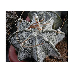 Kaktus Niveum (rastlina: Astrophytum niveum) - 6 semien kaktusu