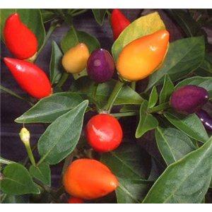 Chilli Bolívijský dážď (rastlina: capsicum) - 7 chilli semienok